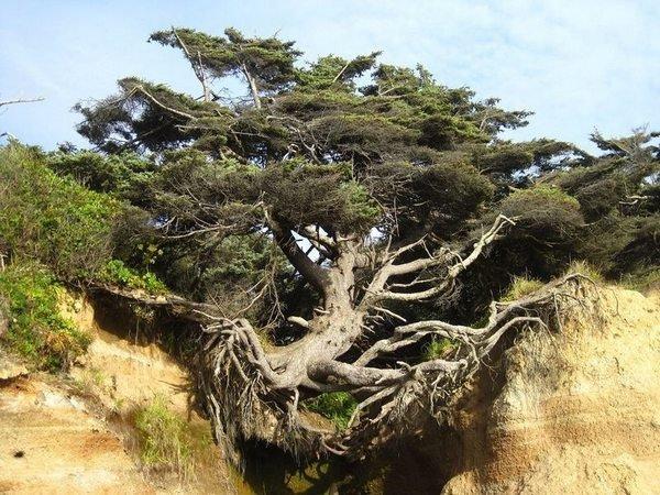 kalaloch-tree-of-life