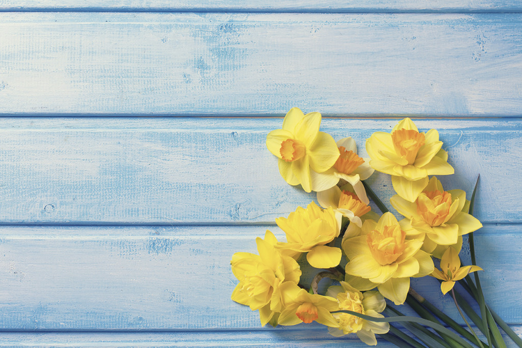 Bright yellow daffodils flowers on blue painted wooden planks. Selective focus. Place for text. Toned image.