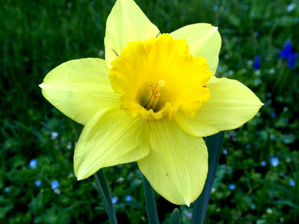 Fiori Narcisi.Fiore Narciso The Bach Flowers